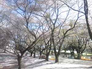 Sakurazenntai_5